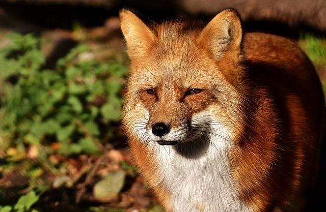 Krafttier Fuchs - Bedeutung: Schlauheit